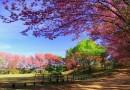 นักท่องเที่ยวแห่ชมซากุระเมืองไทย ดอกผลิบาน ที่อุทยานแห่งชาติแจ้ซ้อน จังหวัดลำปาง